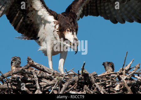 USA, Florida, Sanibel Island, Ding Darling NWR, Osprey Nest with adults and two babies - Stock Photo