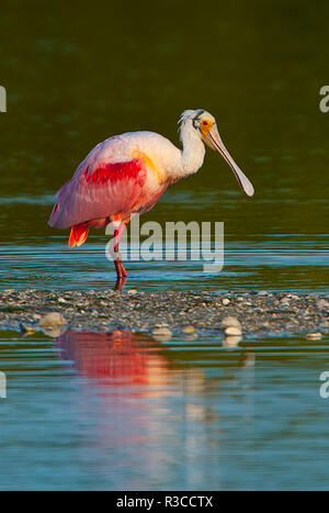 USA, Florida, Fort Meyers, Sanibel Island, J.N. Ding Darling National Wildlife Refuge, Roseate Spoonbill - Stock Photo