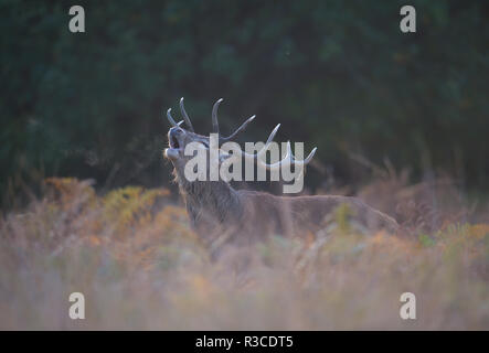 Red Deer stag, Richmond Park - Stock Photo
