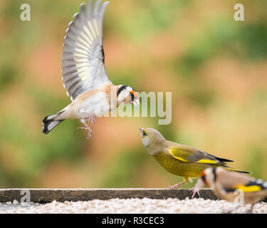 goldfinch (Carduelis Carduelis) squabbling with a greenfinch (Carduelis chloris) at a bird table - Stock Photo