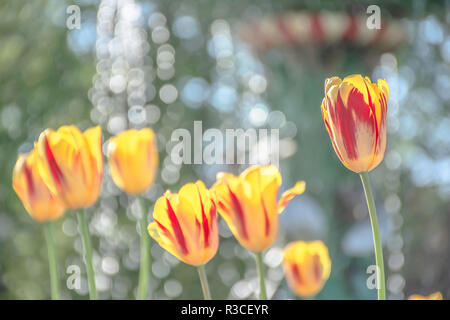 Yellow tulip flowers with red stripe growing on flower bed in UK park garden on sunny spring day.Bright and dreamy image with blurred green background. - Stock Photo