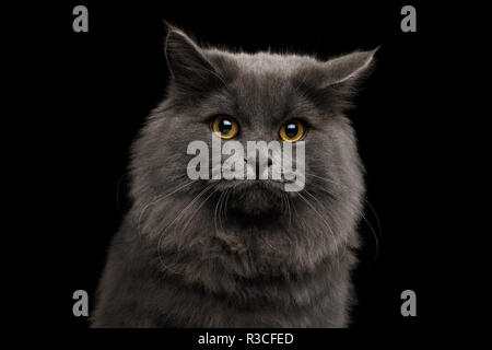 Portrait of Afraid Gray Cat with Sad eyes on Isolated Black Background - Stock Photo