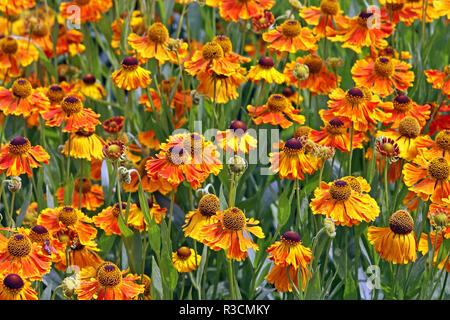 sneezeweed helenium in orange and red tones - Stock Photo