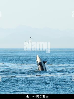 Breaching Orca (Orcinus orca) at Boundary Pass, border between British Columbia Gulf Islands Canada and San Juan Islands, WA - Stock Photo