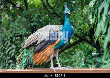 Peacock Standing on a ledge - Stock Photo