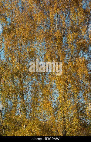 Striking golden yellow autumn colours of Silver Birch tree, Betula pendula, small shimmering leaves with blue contrasting complimentary sky behind - Stock Photo