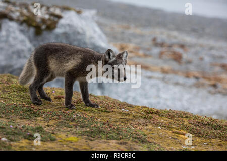 Norway, Svalbard, Spitsbergen. Hornsund, Gnalodden, arctic fox (Vulpes lagapus) with summer coat. - Stock Photo