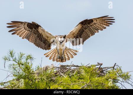 USA, Louisiana, Atchafalaya National Heritage Area. Osprey landing on nest. - Stock Photo