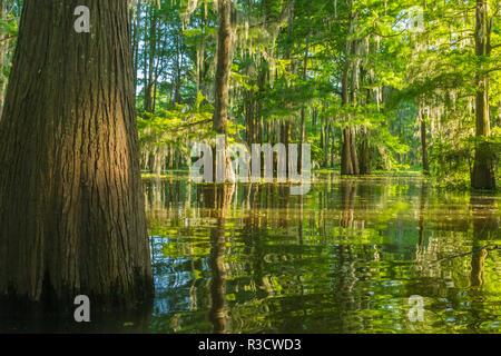 USA, Louisiana, Atchafalaya National Heritage Area. Tupelo trees in swamp. - Stock Photo