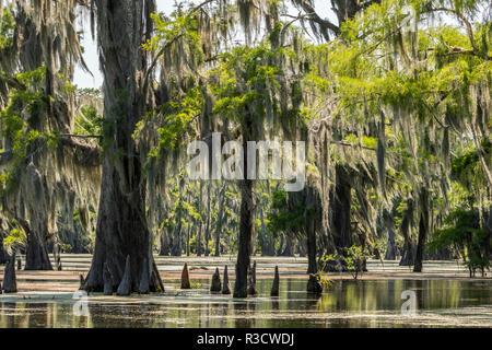 USA, Louisiana, Atchafalaya National Heritage Area. Moss-covered tupelo trees in Lake Martin. - Stock Photo