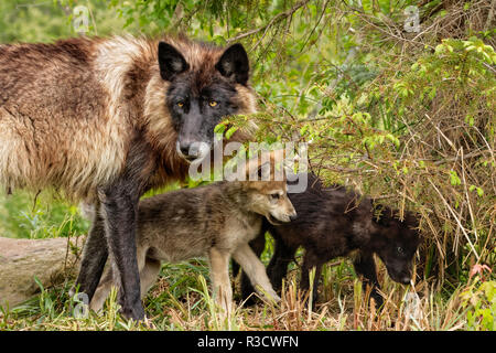 Adult gray wolf with pups wrestling, Canis lupus lycaon - Stock Photo