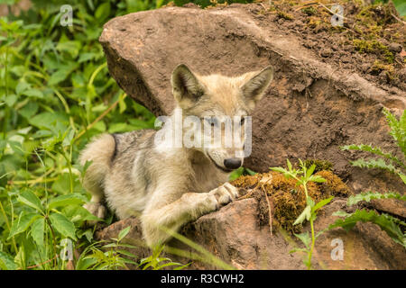 USA, Minnesota, Minnesota Wildlife Connection. Captive gray wolf pup. - Stock Photo