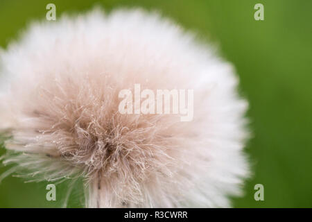 Rockefeller State Park Preserve, New York, U.S.A. Close up of a flora puff. - Stock Photo