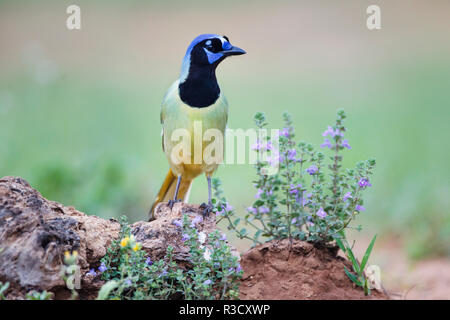 Green Jay (Cyanocorax Yncas) perched in wildflowers - Stock Photo