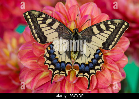 Old World Swallowtail butterfly, Papilio Machaon resting on colorful Dahlias - Stock Photo