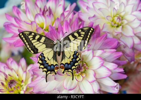 Old World Swallowtail butterfly, Papilio Machaon on Dahlias - Stock Photo