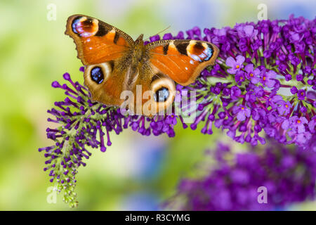Peacock butterfly, Inachis io resting on colorful purple Butterfly Bush - Stock Photo