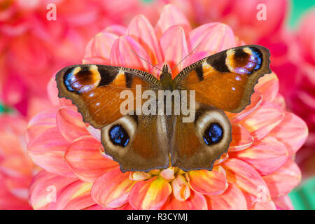 Peacock butterfly, Inachis io resting on colorful Dahlia flowers - Stock Photo