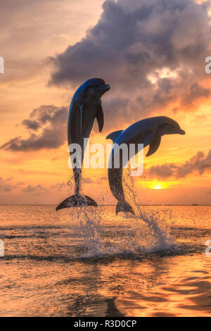Bottlenose Dolphins (Tursiops truncatus), Caribbean Sea, Roatan, Bay Islands, Honduras - Stock Photo