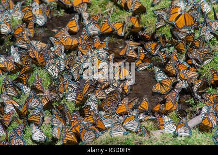 El Rosario Butterfly Reserve, Mexico - Stock Photo