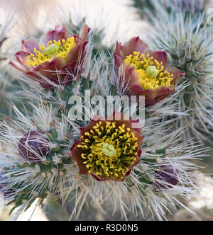 Baja California, Mexico. Buckhorn Cholla (Cylindropuntia acanthocarpa) cactus, bloom detail. - Stock Photo