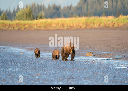A mother brown bear (Ursus Arctos) walks with her two cubs along the tidal edge of the ocean in Lake Clark National Park, Alaska. - Stock Photo