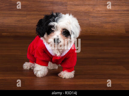 havanese puppy dog - Stock Photo