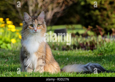 Norwegian forest cat female with bushes and yellow flowers on her background - Stock Photo