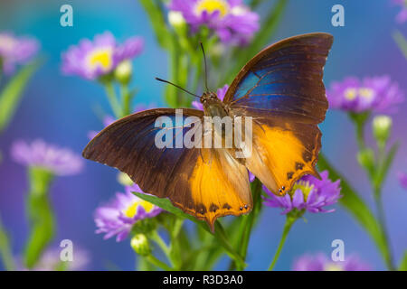 Brush-footed butterfly, Charaxes mars on Asters - Stock Photo