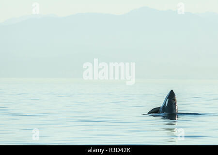 Spyhopping orca from Pod of resident Orca Whales (Orcinus orca) in Haro Strait near San Juan Island, WA, USA - Stock Photo