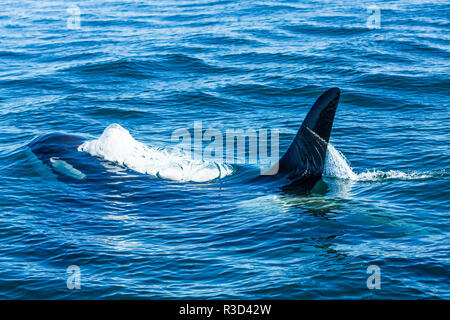 Large male from Pod of resident Orca Whales (Orcinus orca) in Haro Strait near San Juan Island, WA, USA - Stock Photo