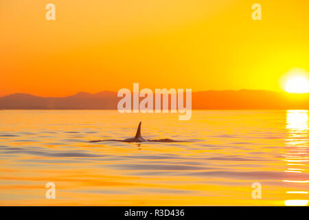 Large male Orca at sunset from Pod of resident Orca Whales in Haro Strait near San Juan Island, WA, USA - Stock Photo