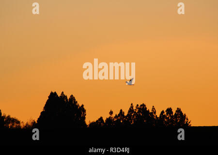 silhouette of bird flying during sunrise, in New Zealand - Stock Photo
