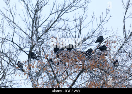 Crowd of Raven sitting on an ice covered branchs following winter storm. Crowd of Raven on a Tree, Black Bird - Stock Photo