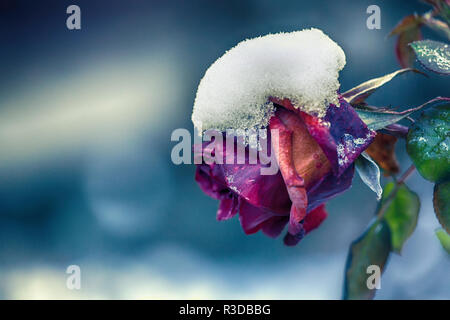 Beautiful rose covered with snow. Snow lies on a frozen rose. A big red rose covered with snow. Early winter. Close-up of vivid rose flower covered by - Stock Photo