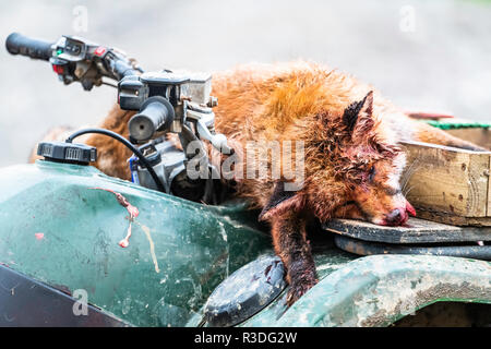Ettrick, Selkirk, Scottish Borders, UK. 15th November 2018. A large hill fox dispatched by a marksman after being flushed by the Duke of Buccleuch Fox - Stock Photo