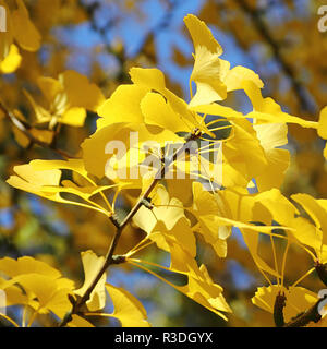 Leaves of Ginkgo tree in autumn - Stock Photo