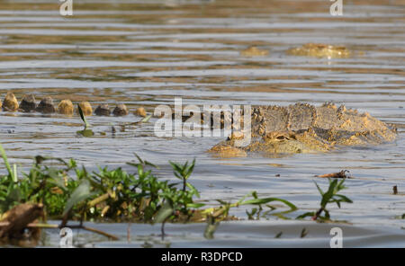 A Nile crocodile (Crocodylus niloticus) rests in the shallow water at the edge of the  Kazinga Channel between Lake George and Lake Edward. Queen Eliz - Stock Photo