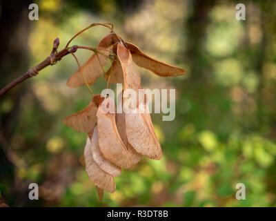 Winged nut fruit of the mountain maple - Acer pseudoplatanus - maple tree