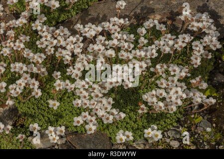 Kabschia Saxifrage, Saxifraga marginata, in flower; from the Balkans and Italy. - Stock Photo