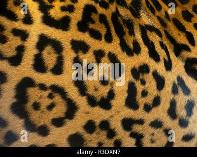 Spotted fur of Jaguar  Panthera onca    CAPTIVE - Stock Photo