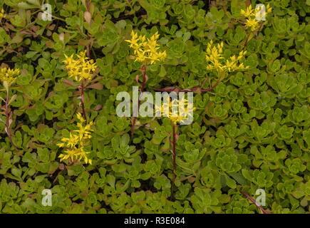 Siberian Stonecrop, Sedum hybridum, in flower in garden. - Stock Photo