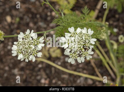 White laceflower, Orlaya grandiflora in flower. South Europe. - Stock Photo