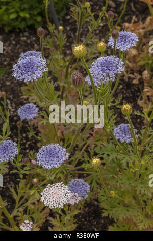 DIDISCUS CAERULEA 'LACY MIX, Blue Lace, in cultivation. - Stock Photo