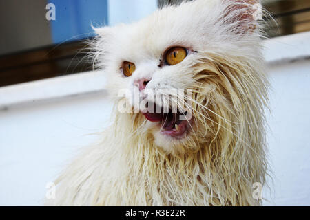 Funny wet cat licking mouth - Stock Photo