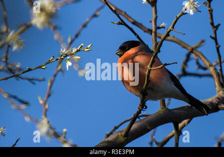 Bullfinch male perched beside cherry blossom - Stock Photo