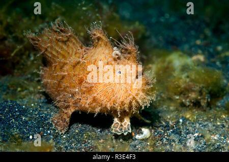 Striped or Hairy frogfish [Antennarius striatus].  Lembeh Strait, North Sulawesi, Indonesia. - Stock Photo