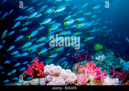 School of Yellowback fusiliers [Ceasio teres] over coral reef with soft corals.  West Papua, Indonesia. - Stock Photo
