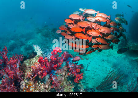 Shoal of Slender pinjalo snappers, White-spot pinjalo snapper or Red pinjalo [Pinjalo lewisi.  West Papua, Indonesia. - Stock Photo