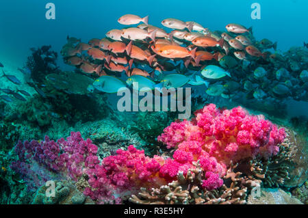 Shoal of Slender pinjalo snappers, White-spot pinjalo snapper or Red pinjalo [Pinjalo lewisi] swimming over soft corals on coral reef.  West Papua, In - Stock Photo